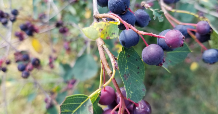 Rowen Farms Saskatoon Berries