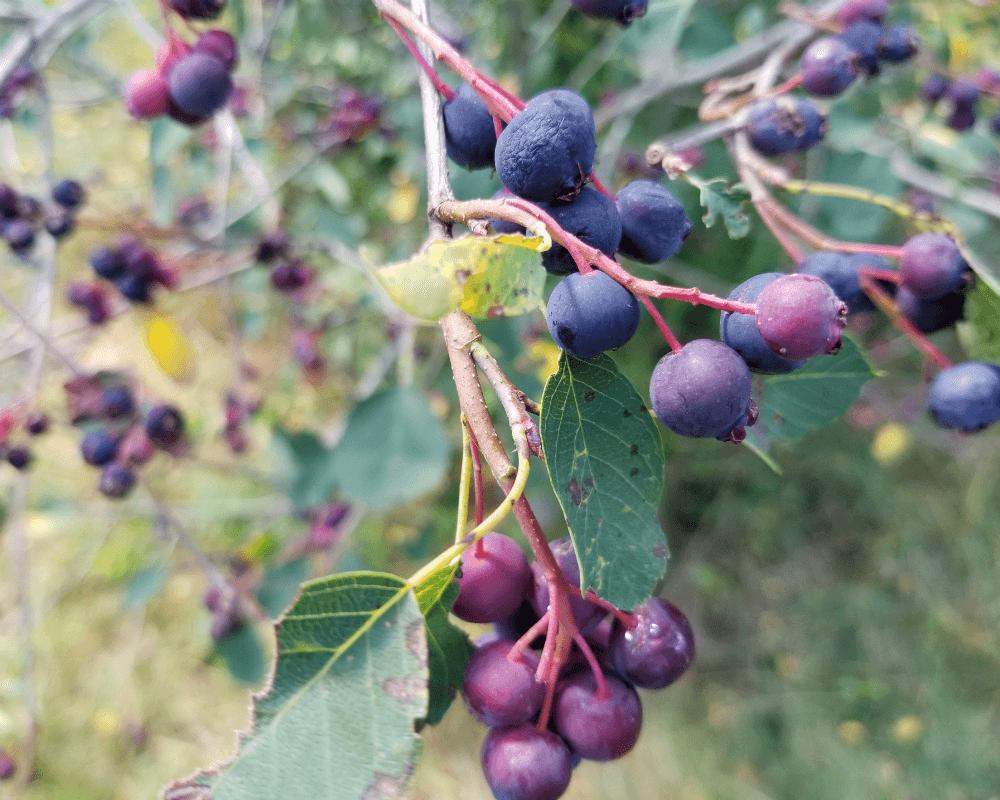 Rowen Farms Saskatoon Berries